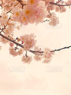 桜のクローズアップの写真・画像素材[3033482]