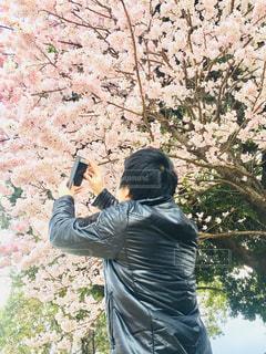 男性,風景,花,桜,屋外,スマホ,満開,樹木,人,写真,さくら