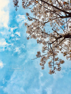 自然,空,花,春,屋外,青い空,樹木,桜の花,日中,クラウド,さくら,ブロッサム