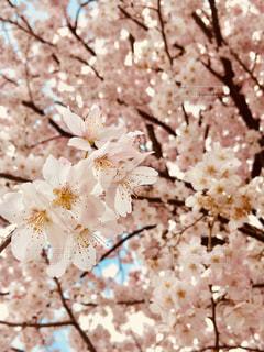 花,春,ピンク,景色,鮮やか,桜の花,さくら,ブロッサム