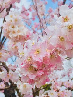 花,春,ピンク,景色,鮮やか,草木,桜の花,さくら,ブロッサム