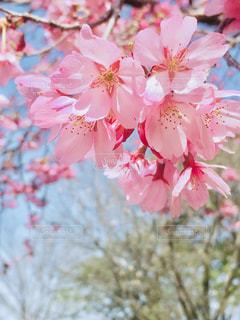 花,春,草木,桜の花,さくら,ブルーム,ブロッサム