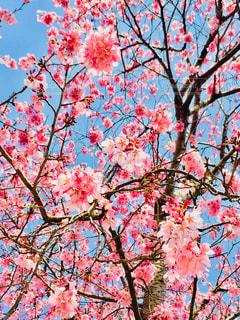 空,花,春,樹木,桜の花,さくら,そら,ブロッサム