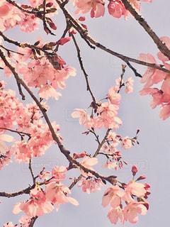 空,花,ピンク,枝,鮮やか,樹木,たくさん,桜の花,さくら,ブロッサム