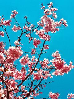 空,花,春,屋外,ピンク,樹木,桜の花,さくら,ブルーム,ブロッサム