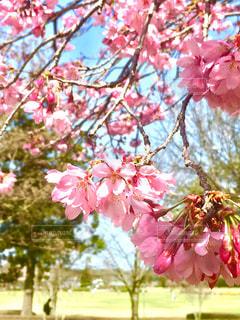 花,春,屋外,ピンク,鮮やか,樹木,桜の花,さくら,ブルーム,ブロッサム