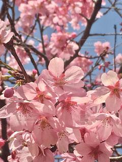 空,花,春,ピンク,鮮やか,満開,樹木,桜の花,さくら,ブロッサム