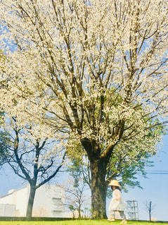 子ども,1人,空,花,春,桜,屋外,満開,樹木,桜の花,桜の木,さくら,ブロッサム
