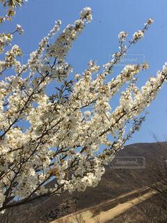 空,花,春,桜,屋外,青い空,満開,丘,樹木,斜面,さくら,ブロッサム