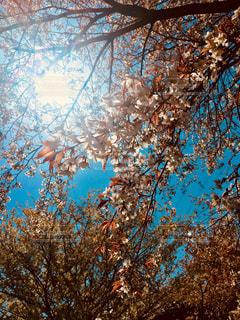 自然,空,花,屋外,青い空,樹木,桜の花,さくら,ブロッサム