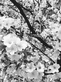 桜,屋外,満開,樹木,草木,桜の花,さくら,ブロッサム,黒と白
