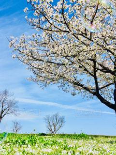 自然,空,花,春,桜,屋外,景色,草,シャボン玉,樹木,さくら,ブロッサム