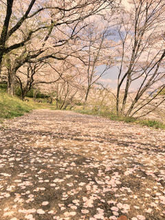 桜並木の道の写真・画像素材[3069315]
