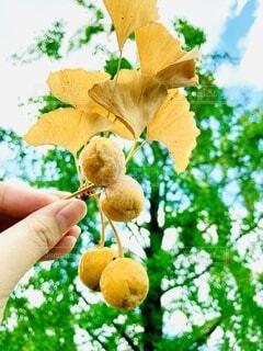 食べ物,秋,屋外,手,手持ち,樹木,人物,人,イチョウ,実,銀杏,ポートレート,ライフスタイル,手元