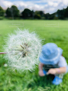 たんぽぽの綿毛と子供の写真・画像素材[4253232]