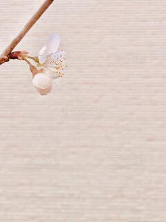 さくらんぼの花の写真・画像素材[4312630]