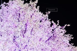 花,春,桜,夜,木,ピンク,樹木,お花見,イベント,ブロッサム