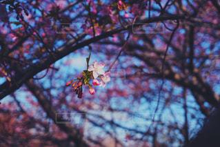 花,春,桜,木,屋外,花見,樹木,お花見,イベント,草木,桜の花,さくら,ブロッサム