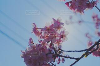 空,花,春,桜,木,ピンク,花見,樹木,お花見,イベント,カラー,草木,桜の花,さくら,ブロッサム