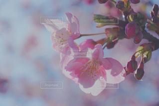 花,春,桜,ピンク,花見,花びら,お花見,イベント,草木,ブルーム,ブロッサム