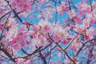 花,春,桜,木,枝,花見,鮮やか,樹木,お花見,イベント,カラー,草木,桜の花,さくら,ブロッサム