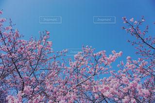 空,花,春,木,屋外,花見,樹木,お花見,イベント,草木,さくら,ブロッサム