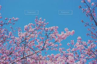 空,花,春,桜,屋外,花見,樹木,お花見,イベント,草木,さくら,ブロッサム