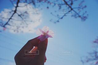 風景,空,花,春,桜,木,屋外,ピンク,花見,花びら,お花見,人,イベント,さくら,ブロッサム