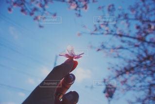 女性,空,花,桜,木,屋外,ピンク,青い空,手,花見,お花見,人,イベント,草木,さくら,ブロッサム