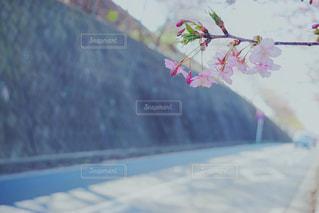 花,春,桜,木,道路,花見,お花見,イベント,カラー,さくら