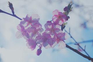 空,花,春,桜,木,花束,花見,景色,お花見,イベント,草木,さくら,ブロッサム