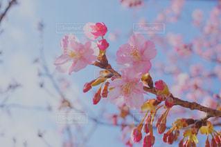 空,花,春,桜,木,枝,鮮やか,イベント,カラー,草木,桜の花,さくら,ブロッサム