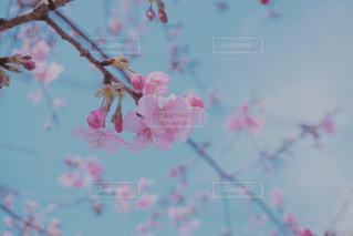 花,春,桜,枝,花見,鮮やか,お花見,イベント,カラー,草木,桜の花,さくら,ブロッサム
