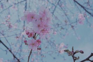 花,春,桜,枝,花見,樹木,お花見,イベント,草木,桜の花,さくら,ブロッサム