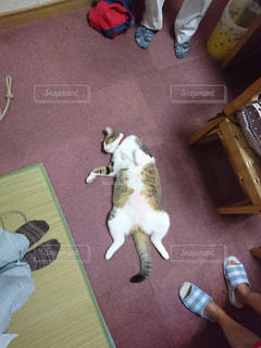 猫,動物,ペット,人物,くつろぐ,お腹,ネコ