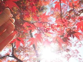 秋,葉,手持ち,樹木,人物,人,ポートレート,ライフスタイル,草木,手元,カエデ