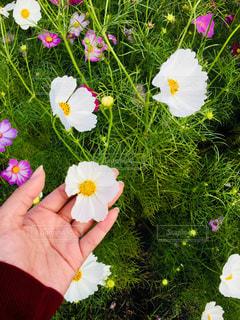 花,秋,花畑,コスモス,海の中道海浜公園