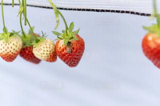 食べ物,赤,いちご,フルーツ,果物,果実,いちご狩り,ミツバチ,フレッシュ