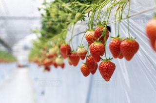 赤,いちご,フルーツ,果物,果実,いちご狩り,フレッシュ