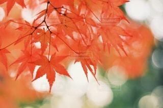 紅葉の写真・画像素材[3839757]