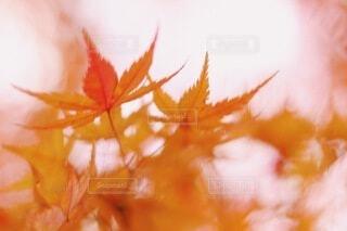 紅葉の写真・画像素材[3839760]