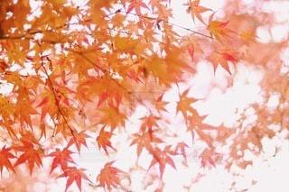 紅葉の写真・画像素材[3839765]