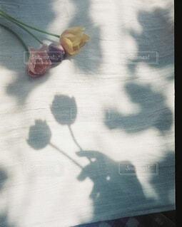 チューリップと光と影の写真・画像素材[4416399]
