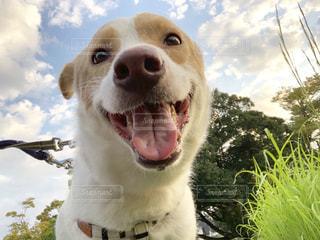 笑顔犬の写真・画像素材[2700352]