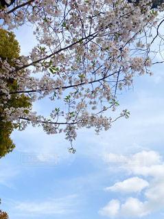 桜の写真・画像素材[3072042]
