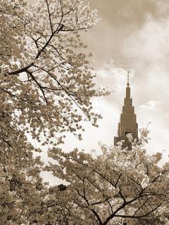 新宿御苑の桜の写真・画像素材[2905656]