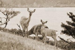 水辺の草原に立っている鹿の親子の写真・画像素材[2905655]