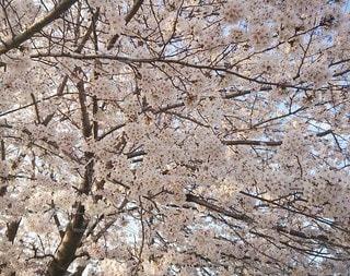 花,春,桜,木,京都,晴れ,花見,満開,樹木,お花見,イベント,日本,歴史,陽光,樹齢,見事