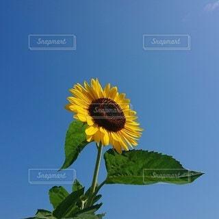太陽に向かって咲くひまわりの写真・画像素材[3500809]