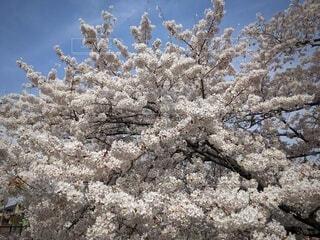 満開の桜の写真・画像素材[4315566]